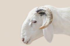 Ram Sahelian com um revestimento branco Fotos de Stock Royalty Free