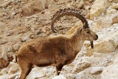 RAM salvaje (cabras monteses numbian) Imagen de archivo libre de regalías