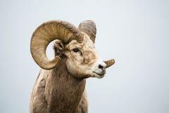 Ram selvaggio del Bighorn contro fondo neutrale grigio Immagini Stock Libere da Diritti