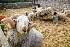 A ram and sheep. A picture of a ram and sheep in the back ground Stock Photos