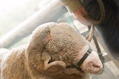Ram Sheep fotografie stock libere da diritti
