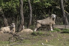 A ram with sheep in the corral Royalty Free Stock Photo