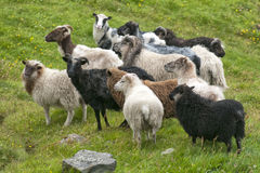 Ram sheep flock on the green grass background Royalty Free Stock Photos