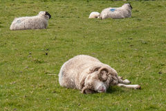 Ram and sheep, Ireland Royalty Free Stock Photography