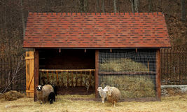 Ram, sheep and lambs near manger at the farm Royalty Free Stock Images
