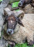 Ram (Sheep) Lying in Fenced Area Stock Photos