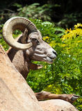 Ram Sheep Royalty Free Stock Images