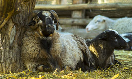 The ram and sheep Stock Photography
