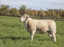 Ram sheep. Profile image of a domestic hair sheep called a Katahdin.  This ram depicts excellent conformation Stock Images