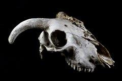 Ram Sheep Skull On Black-Hintergrund Lizenzfreies Stockbild