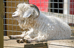 Ram sheep stall Royalty Free Stock Photos