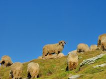 Ram sheep  in the top of the mountains Stock Images