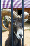 Ram sitting in the cages in the zoo Royalty Free Stock Photo