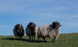 Ram (Skudde Prussian do leste) na pele do inverno Foto de Stock Royalty Free