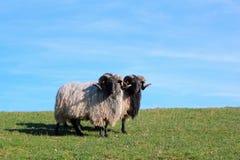 Ram (Skudde prussiano orientale) in pelliccia di inverno Fotografie Stock Libere da Diritti