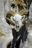 Ram skull Royalty Free Stock Photos