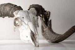 Ram Skull Foto de archivo libre de regalías