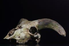 Ram skull Stock Photography