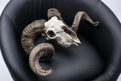 Ram skull in armchair. Ram skull in armchair, isolated on gray background Stock Images