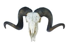 Ram skull with big horn Royalty Free Stock Photography