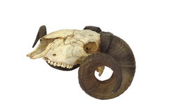 Ram skull with big horn stock image