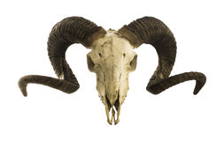 Ram skull with big horns isolated on white