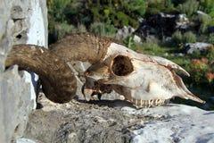 Ram skull. Big ram skull on the stone in Turkey stock photography