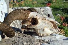 Ram skull Stock Images