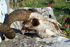 Ram skull. Big ram skull on the stone, Turkey stock images