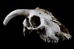 Ram Skull On Black Background Royaltyfria Bilder