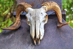 Ram skull closeup stock images