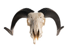 Ram skull with horns Royalty Free Stock Image