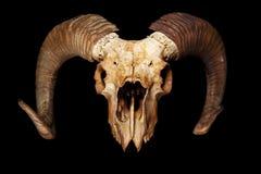 Free Ram Skull Isolated On The Black Background Royalty Free Stock Photos - 127785698