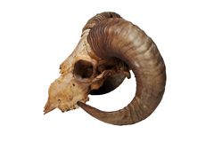 Free Ram Skull Isolated On The White Background Royalty Free Stock Images - 127627479