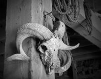 Ram Skull Royalty Free Stock Photography