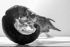 Ram Skull Side Imágenes de archivo libres de regalías