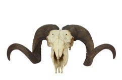 Ram Skull With Big Horn Stock Photo