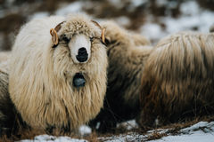 Ram smiling to the camera. A flock during the winter time, and a curious ram smiling to the camera in Fundata village, Romania Royalty Free Stock Image