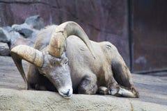 RAM soñolienta del carnero con grandes cuernos Foto de archivo