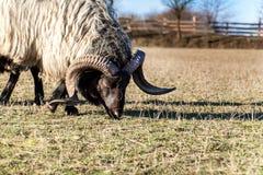 RAM som betar i en beta En sikt av huvudet för RAM` s Hösteftermiddag på lantgården Nötkreaturavel royaltyfri fotografi