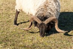 RAM som betar i en beta En sikt av huvudet för RAM` s Hösteftermiddag på lantgården Nötkreaturavel arkivfoto