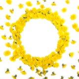 Ram som göras av gula maskrosor på en vit royaltyfria foton