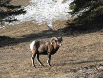 Ram in Spring. A big horn sheep on the side of a mountain in Jasper Stock Image