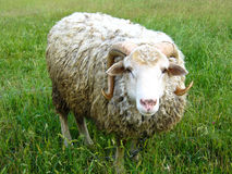 Ram standing on the green grass Royalty Free Stock Image