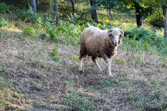 The ram stands in the meadow.  stock image