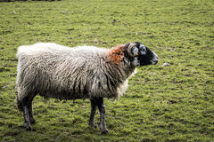 Ram. A ram stood on the pennine moors with long matted wool stock photo