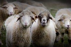 Ram sul campo Fotografia Stock