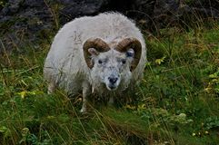 A ram threating you, from Iceland. stock image