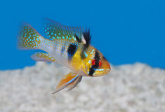 Ram Tropical Fish blu in un acquario Immagine Stock
