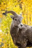 Ram turning to look in aspen trees stock image